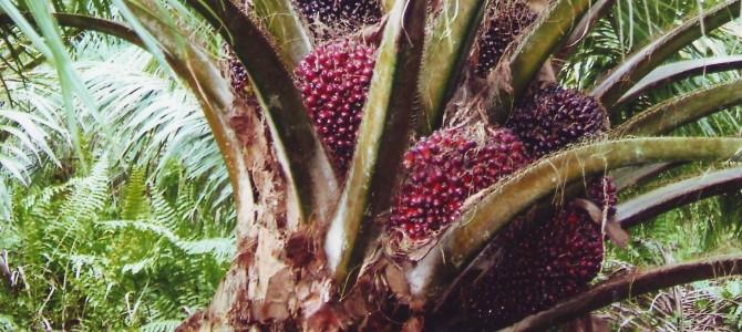 Ce trebuie sa stiti despre uleiul de palmier