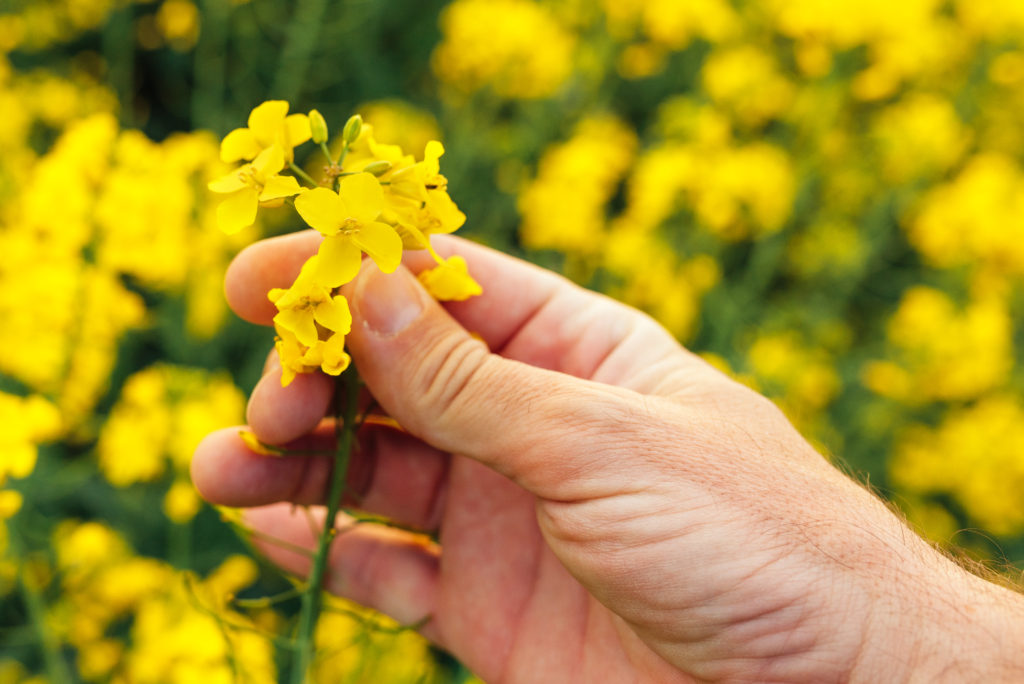 Flori de rapita