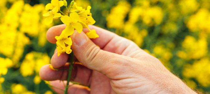 Rapita in topul culturilor profitabile din Romania