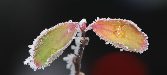 Tipuri de inghet in agricultura si cum afecteaza plantele